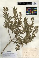 Isotype of Railliardia reticulata Sherff [family ASTERACEAE]