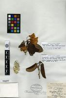 Isolectotype of Rhododendron jucundum I. B. Balfour & W. W. Smith [family ERICACEAE]
