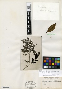 Isotype of Archytaea angustifolia Maguire [family BONNETIACEAE]