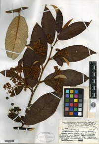 Type of Alphitonia ferruginea Merrill & L. M. Perry [family RHAMNACEAE]