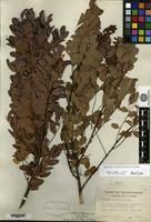 Holotype of Amorpha ouachitensis Wilbur [family FABACEAE]