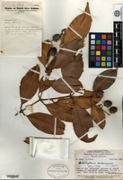 Holotype of Calophyllum savannarum A. C. Smith [family CLUSIACEAE]