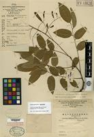 Isotype of Cladrastis chingii Duley & Vincent [family FABACEAE]
