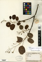 Isotype of Cotinus coggygria Scopoli var. glaucophylla C. Y. Wu [family ANACARDIACEAE]