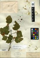 Syntype of Crataegus peckii Sargent [family ROSACEAE]