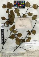 Syntype of Crataegus franklinensis Sargent [family ROSACEAE]