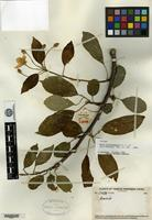 Isotype of Malus daochengensis C. L. Li [family ROSACEAE]