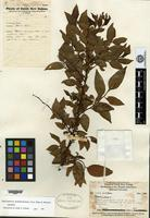 Isotype of Phyllanthus archboldianus Airy Shaw & G. L. Webster [family EUPHORBIACEAE]