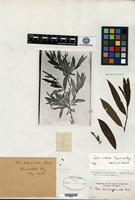 Isotype of Salix phylicoides Andersson [family SALICACEAE]