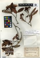 Holotype of Syzygium discolor Merrill & L. M. Perry [family MYRTACEAE]