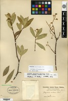 Isolectotype of Jacquinia axillaris Oersted [family THEOPHRASTACEAE]