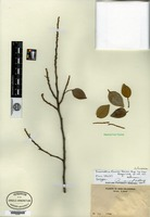 Isotype of Desmodium francii Harms [family FABACEAE]