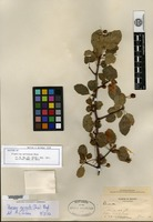 Isotype of Elaphrium epinnatum Rose [family BURSERACEAE]