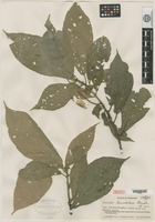 Isotype of Acalypha lancetillae Standley [family EUPHORBIACEAE]