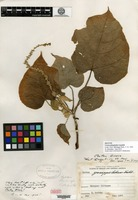 Isotype of Croton platyphyllos Lundell [family EUPHORBIACEAE]
