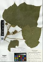 Isotype of Macaranga galorei Whitmore [family EUPHORBIACEAE]