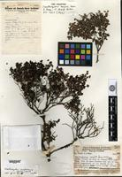 Holotype of Xanthomyrtus exigua Merrill & L. M. Perry [family MYRTACEAE]