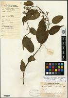 Isotype of Merrillanthus hainanensis Chun & Tsiang [family ASCLEPIADACEAE]
