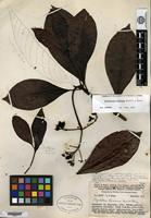 Type of Psychotria randiana Merrill & L. M. Perry [family RUBIACEAE]