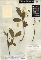 Isotype of Euonymus pygmaeus W. W. Smith [family CELASTRACEAE]