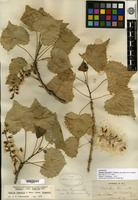Syntype of Populus fremontii S. Watson var. pubescens Sargent [family SALICACEAE]