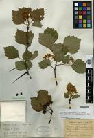 Syntype of Crataegus chadsfordiana Sargent [family ROSACEAE]