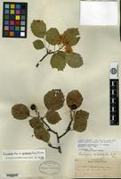 Syntype of Crataegus cyclophylla Sargent [family ROSACEAE]