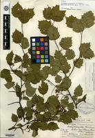 Syntype of Crataegus paineana Sargent [family ROSACEAE]