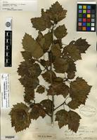 Syntype of Crataegus lobulata Sargent [family ROSACEAE]