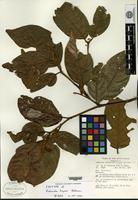 Isotype of Endiandra hayesii Kostermans [family LAURACEAE]