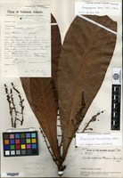 Holotype of Campnosperma brassii Merrill & L. M. Perry [family ANACARDIACEAE]