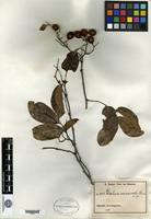 Type of Dialium connaroides Harms ex De Wildeman [family CAESALPINIACEAE]
