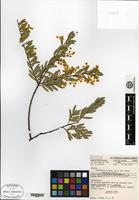 Isotype of Acacia buxifolia A. Cunn. subsp. pubiflora Pedley [family MIMOSACEAE]