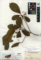 Isotype of Sterculia clemensiae Ridley [family STERCULIACEAE]