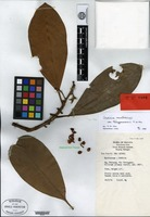 Isotype of Ardisia scortechinii King & Gamble var. trengganuensis C. M. Hu [family MYRSINACEAE]