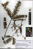 Isotype of Abies hidalgensis Debrezcy, I. Racz & Guizar [family PINACEAE]