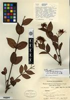Holotype of Syzygium variabile T. G. Hartley & L. M. Perry [family MYRTACEAE]