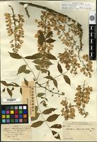 Holotype of Wisteria brevidentata Rehder [family FABACEAE]