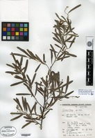 Isotype of Grevillea linsmithii McGillivray [family PROTEACEAE]