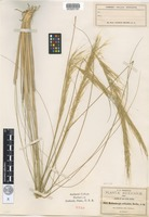 Isotype of Muhlenbergia articulata Scribn. [family POACEAE]