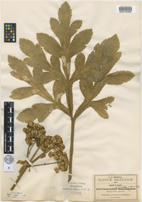 Isosyntype of Prionosciadium serratum J.M.Coult. and Rose [family APIACEAE]