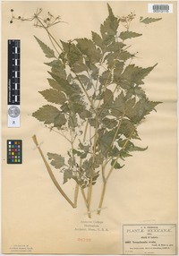 Isosyntype of Neonelsonia ovata J.M.Coult. and Rose [family APIACEAE]