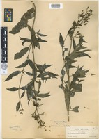 Isotype of Scrophularia montana Wooton [family SCROPHULARIACEAE]