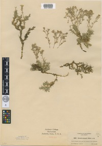 Isotype of Arenaria gregaria A.Heller [family CARYOPHYLLACEAE]