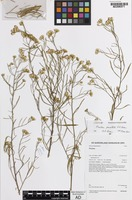 Isotype of Pluchea punctata A.R.Bean [family ASTERACEAE]