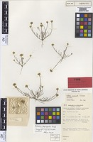 Isotype of Millotia inopinata Schodde [family ASTERACEAE]