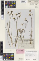 Syntype of Diuris palachila R.S.Rogers [family ORCHIDACEAE]