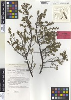 Isotype of Micrantheum serpentinum Orchard [family PICRODENDRACEAE]