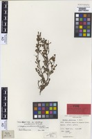 Isotype of Lhotskya smeatoniana F.Muell. [family MYRTACEAE]