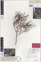 Isotype of Acacia inaequiloba W.Fitzg. [family FABACEAE]
